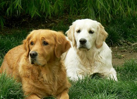 golden retriever house vendo cuccioli labrador hairstylegalleries