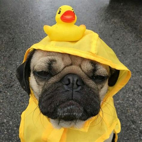 pug raincoat 17 best images about dogs pugs on ewok costume puppys and rubber duck
