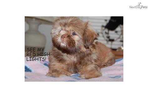 liver shih tzu puppies sale now shih tzu puppy for sale near arizona 9d2a03b5 3a81