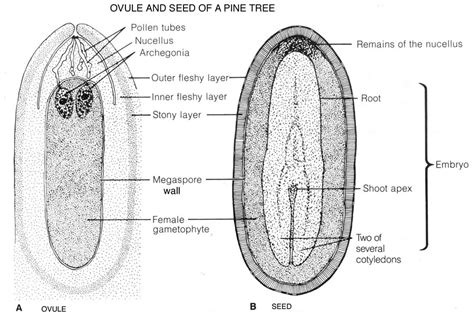 ovule diagram bioatlas html