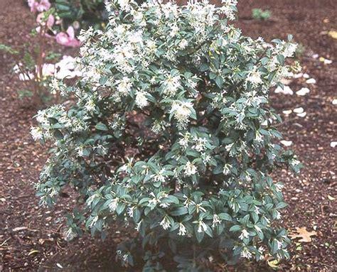 Fragrant Flowering Plants - osmanthus 215 burkwoodii landscape plants oregon state university