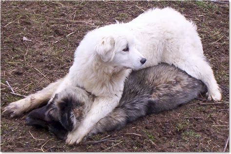 livestock guardian breeds livestock guardians
