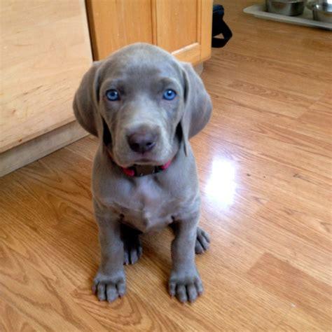 weimaraner dogs to the hypnotic of these weimaraner puppies