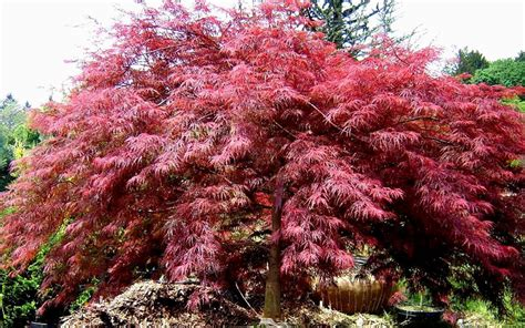 crimson queen dwarf japanese maple