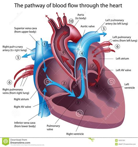 color of oxygenated blood which chamber of the heart receives deoxygenated blood