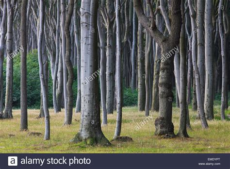 nienhagen germany trees beech trees shaped by strong sea winds at ghost wood