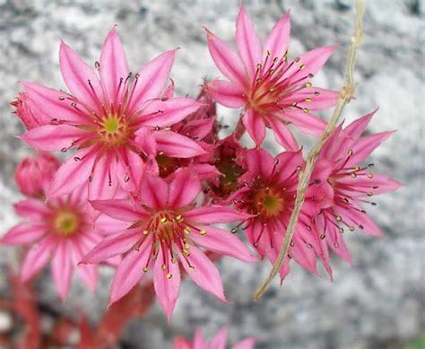 pianta grassa con fiori rosa pianta grassa con fiori rosa idee creative di interni e