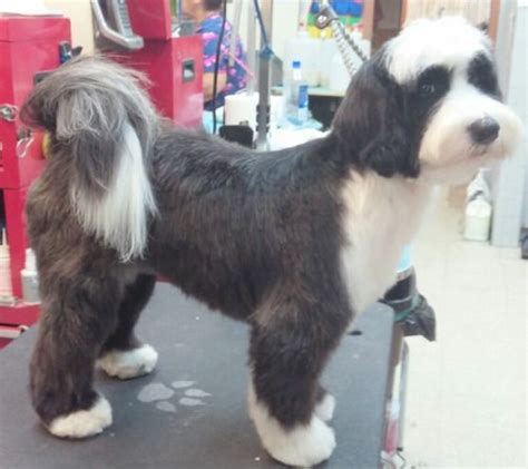 hair cuts for the tebelan terrier the 25 best ideas about tibetan terrier on pinterest