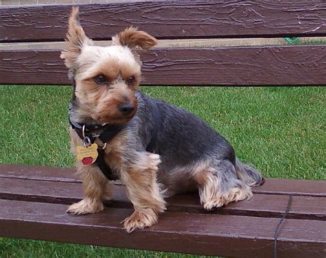 yorkie dog with lion haircut 1000 images about yorkie haircuts on pinterest baby