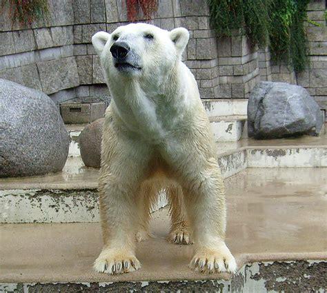 zoologischer garten arzt www zoo wuppertal net eisb 228 r lars wieder gesund