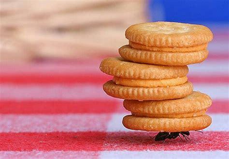 Beban Berkait 50gram ternyata semut dapat mengangkat beban 50 kali dari berat badannya vebma