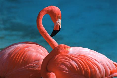 flamingo full hd wallpaper  background image