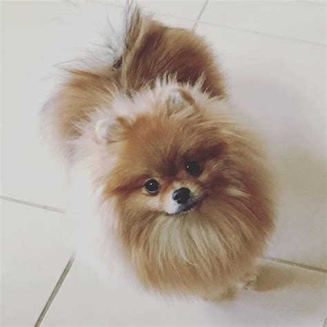 can all pomeranians look like boo 1366 best pomeranians images on pomeranians german spitz and dogs
