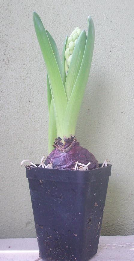 Jual Bibit Bunga Hyacinth Semua Menjadi Pokok Bunga Hapa Ke Namanya Nih
