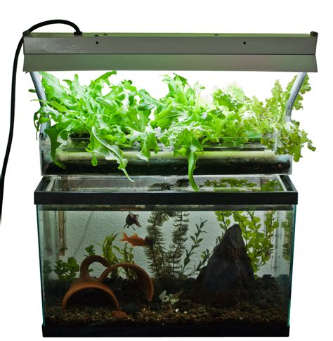 fish tank aquaponics system check out my personal