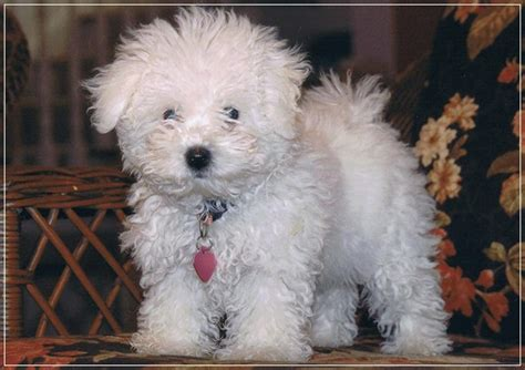 low maintenance small dogs 20 low maintenance breeds