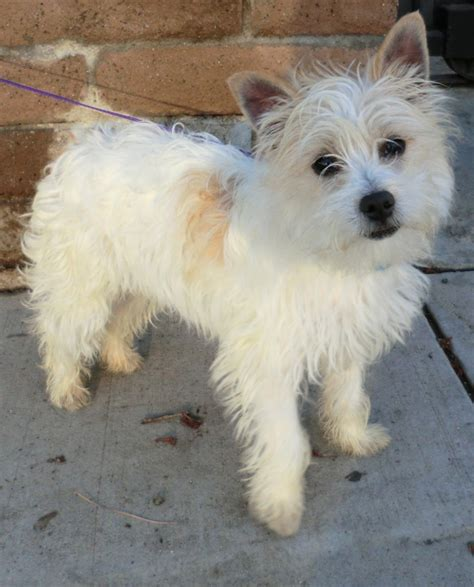yorkie and westie mix fourche terrier westie yorkie mix info puppies pictures