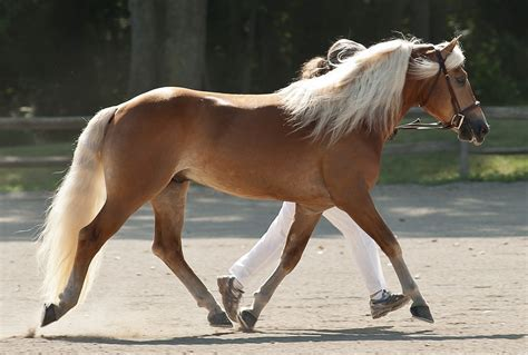Wonderful Haflinger Horse ? WeNeedFun