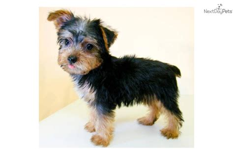 miniature yorkie grown mini terrier grown breeds picture
