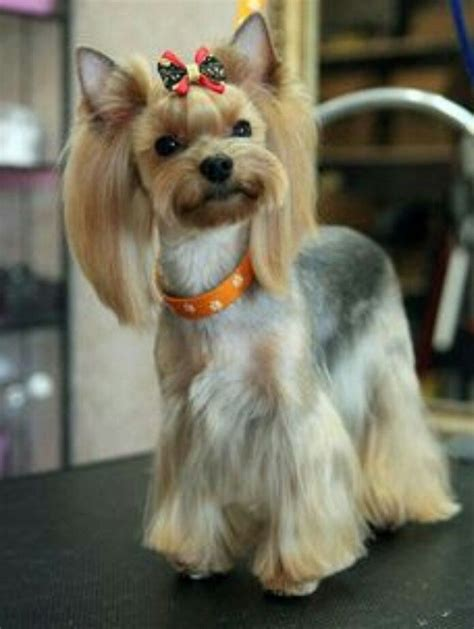 korean yorkie haircuts 48 best asian fusion grooming york images on pinterest