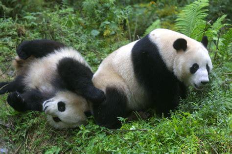 panda china wildlife at risk shareamerica