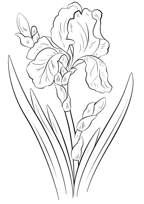 www coloring iris coloring pages to and print for free