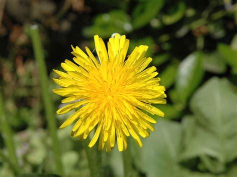 fiori dente di linguaggio dei fiori giardinaggio mobi
