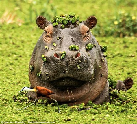Hippo Top 1 photo shows hippo terrifying water bird as he emerges from