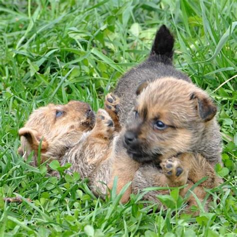 norwich terrier puppies 17 best images about we want a on chihuahuas australian bulldog and