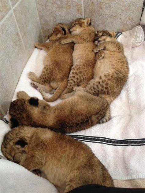 cubs newborn fan newborn cubs cubs photo 36286252 fanpop