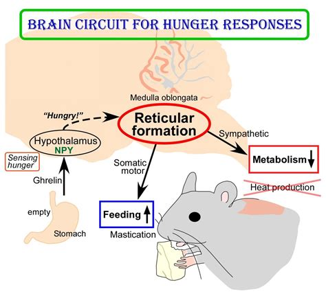 thirst for power energy water and human survival books new insights into brain circuit for hunger responses