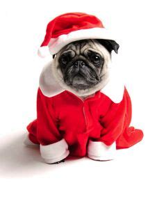 my pugs skin is turning black 1000 images about pugs on pug a pug and merry