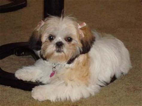 teddy faces shih tzu puppies dogs 4