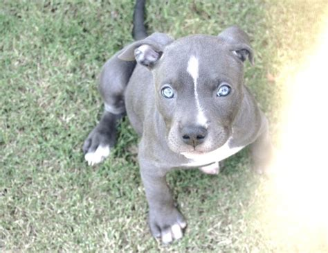 blue nose blue nose pitbull puppy pitbulls pibbles pitties beautiful and