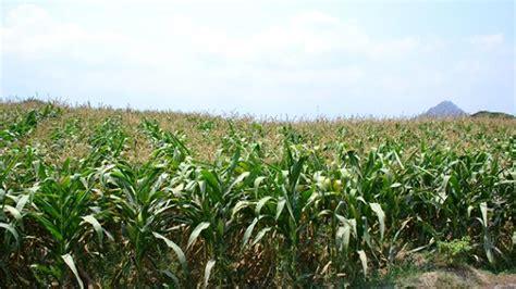 Pakan Ternak Dari Bonggol Jagung blitar panen 40 800 ton jagung awal desember tribunnews