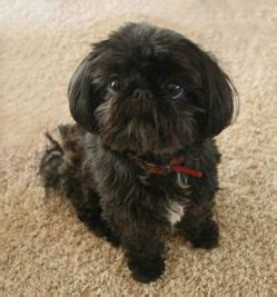 shih tzu kidney failure 48 best images about black shih tzu on baby shih tzu i want and shih tzu