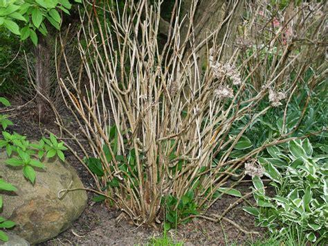 HYDRANGEA HYSTERIA - Mierop Design Oak Leaf Hydrangeas In Winter