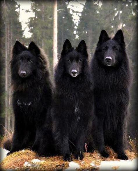 belgian shepherd belgium shepherds animals belgium belgian shepherd and dogs
