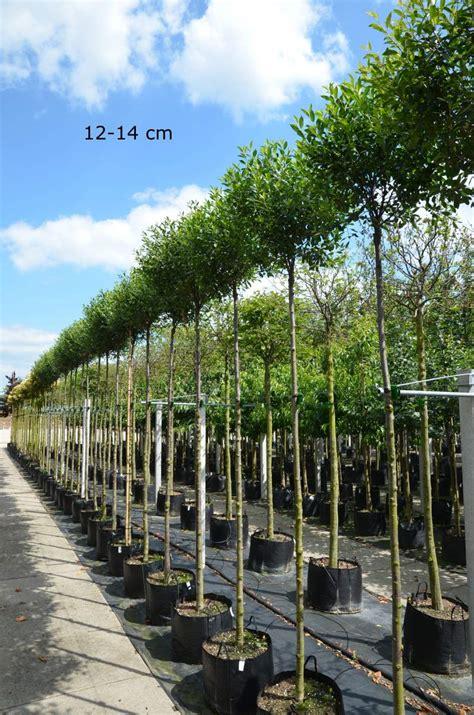 artikel für garten kugelbaum f 195 188 r kleinen garten kaufen kugelkirsche mr