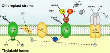 At A Proton Of The Thylakoid Membrane Light And Chloroplast Enzyme Activity