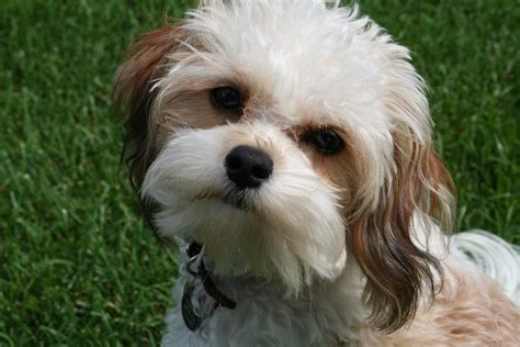 when are puppies fully grown grown bichon cavalier dogs breeds picture