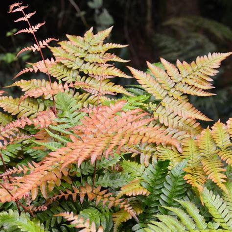 buy fern plants   ireland  prices fast