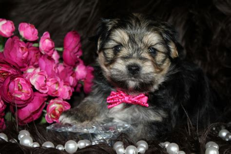 morkie puppies for sale louisiana morkie puppies for sale in louisiana princess puppies