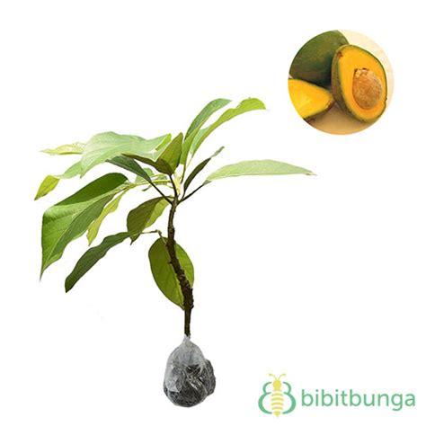 Buah Alpukat Mentega By Trihaestu tanaman alpukat tanpa biji bibitbunga
