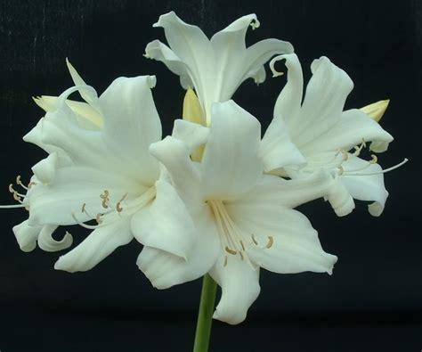 amaryllis fiore piantare a giugno l amaryllis per avere una fioritura di