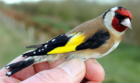 another bird blog goldfinches rule