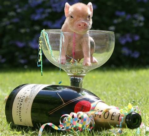 new year animal pig community post 22 micro pigs who are a better day