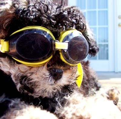 shih tzu goggles s photo contest page