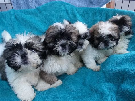 shih tzu puppies for sale stoke on trent shih tzu puppies stoke on trent staffordshire pets4homes