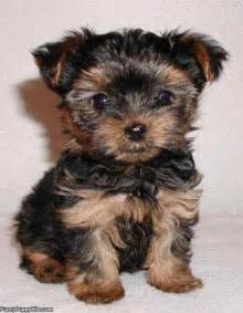black and brown puppy black and brown puppie puppies picture